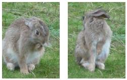 konijnen - gronama